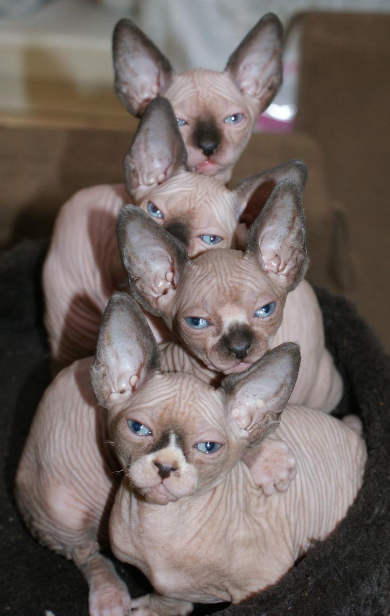 Sphynx Cat For Sale Brisbane
